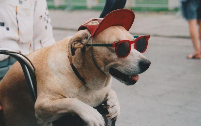 By Mummelgrummel / https://commons.wikimedia.org/wiki/File:Hund_mit_Brille.jpg / Wikimedia Commons - (c) By Mummelgrummel / https://commons.wikimedia.org/wiki/File:Hund_mit_Brille.jpg / Wikimedia Commons