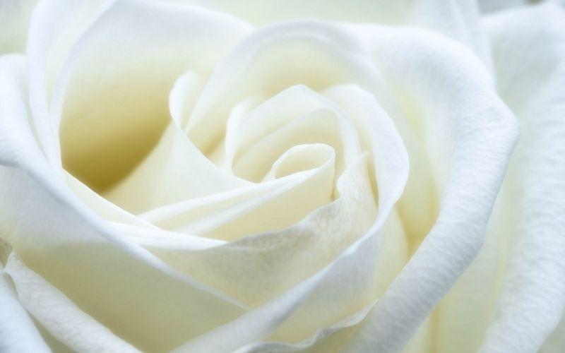 Weiße Rose - (c) skeeze / https://pixabay.com/de/rose-weiß-blume-makro-schließen-1033202/