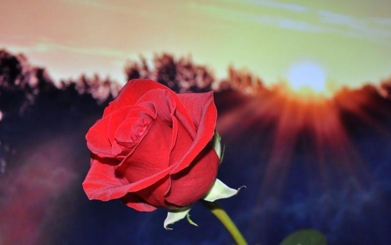 - (c) https://pixabay.com/de/rose-rot-blume-670447/